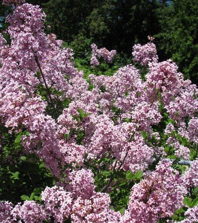 Lilacs small