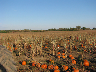 Pumpkin field 2