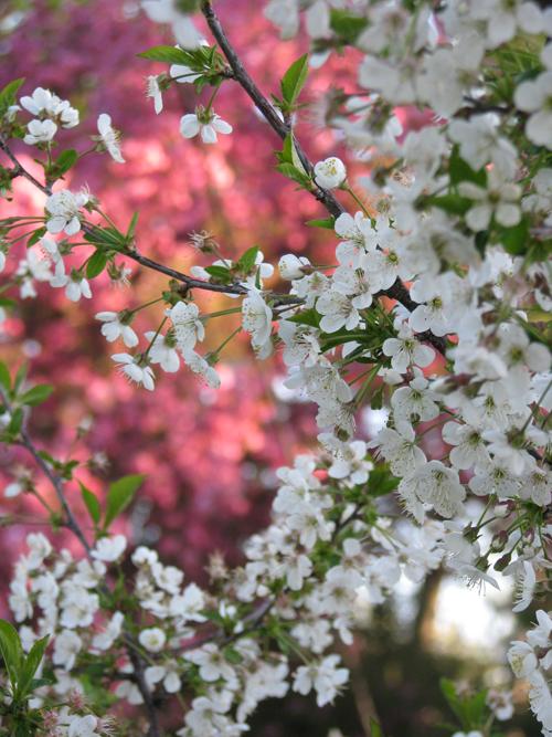 April cherry tree