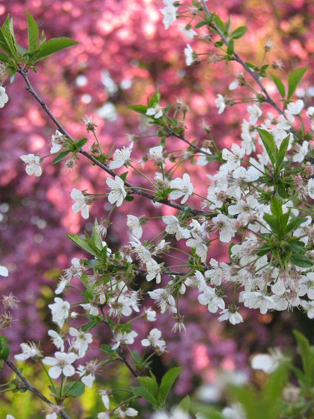 April cherry tree 2