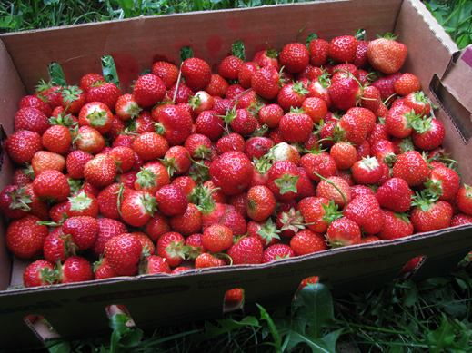 June strawberries 2
