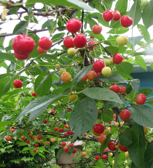 June cherries 2